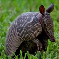 PurpleArmadillo